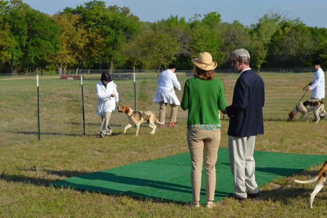 Showing American Hounds