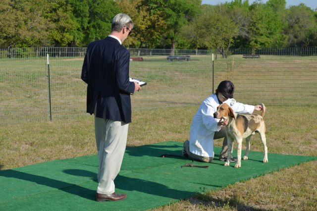 The judge evaluating a dog hound