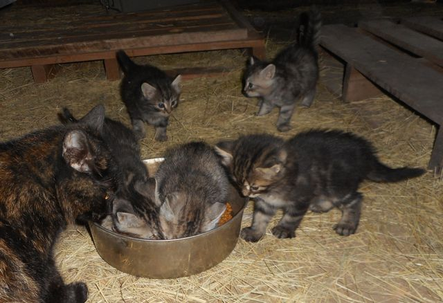 The babes are already learning to eat big kitty food.