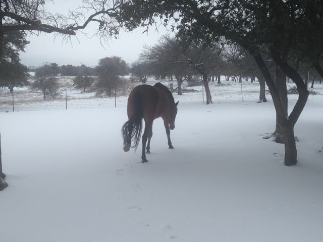 Coco being VERY careful walking on the snow. Notice how high she is picking up that hind foot?! #diva