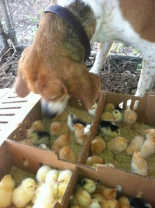 Peaches the foxhound LOVES babies of all kinds. She really wanted to pick these chicks up and take them to the house to snuggle with her, however that wasn't the best option for their survival.