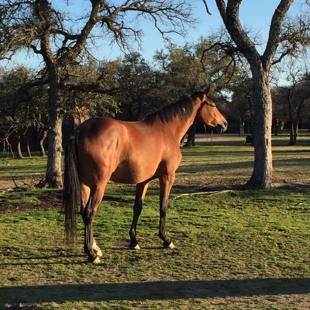 Coco about one week before she foaled.