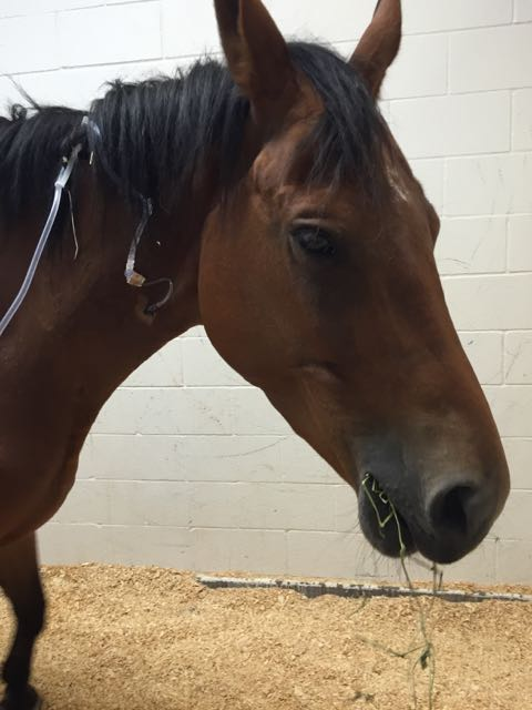 Mouthful of hay with the IV tied into her mane