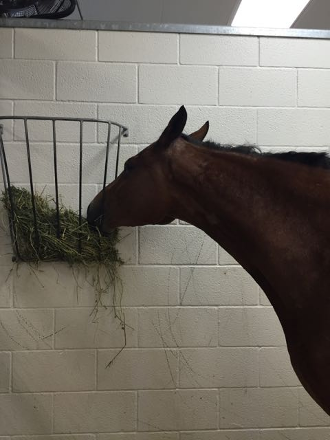 Getting some hay in her ICU stall